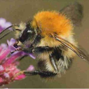 Éventail environnement - Découvrir les abeilles de nos régions - Petit guide des espèces les plus fréquentes en Wallonie - Été